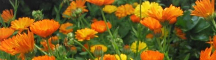 Headerbild ringelblumen Joujou/pixelio.de