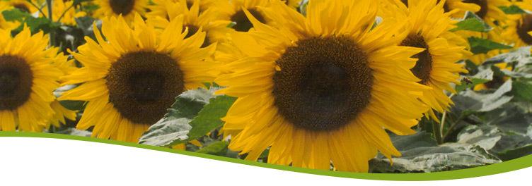 Sonnenblumen LK Wien