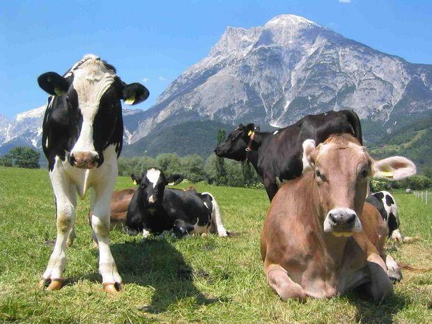 Kühe_auf_der_Wiese©Pflanzen_Forst_Bio © LK Tirol - FB Pflanzen  Forst und Bio