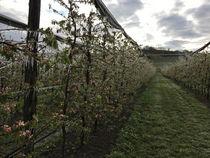 Frostschutzbewässerung Apfelkultur-Reihe © Archiv