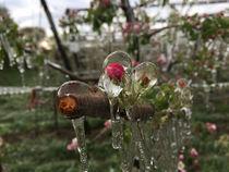 Frostschutzbewässerung Apfelblüte Detail © Archiv